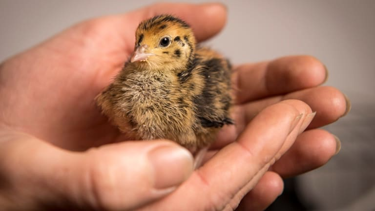 Cute and fluffy: One of Kat Lavers' tiny quail chicks born last week.
