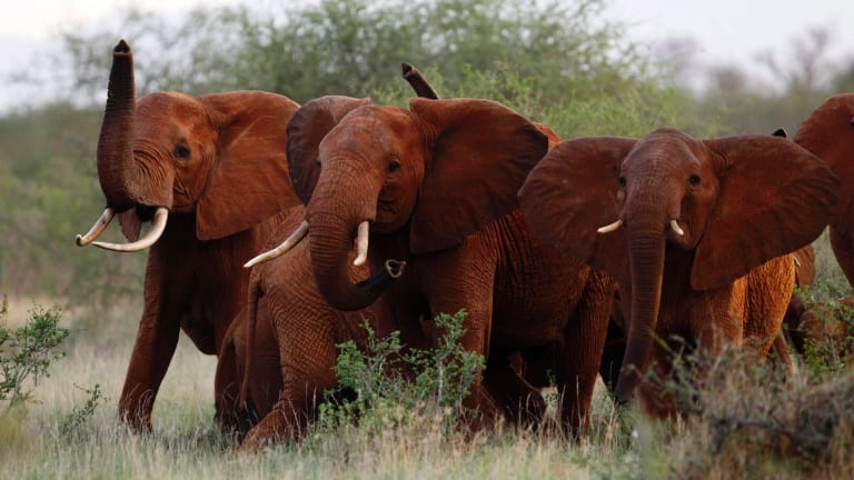 The Trump administration is lifting a US ban on the importation of body parts from African elephants shot for sport.