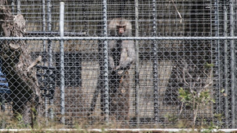 Adult baboons at Wallacia breeding colony have been dying of lymphoma and wasting disease.