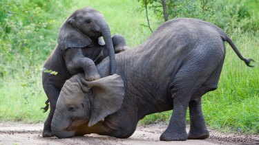 There is a growing amount of science that suggests elephants are among the most intelligent creatures on the planet.