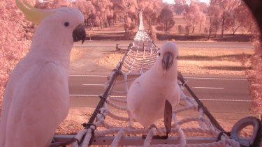 Cockatoos take a rest on one of the rope bridges spanning the Hume Highway.