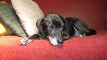 Millie, Nigel Featherstone's Labrador and companion.