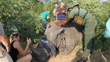 The vet team at work taking DNA samples and notching rhino number 227.