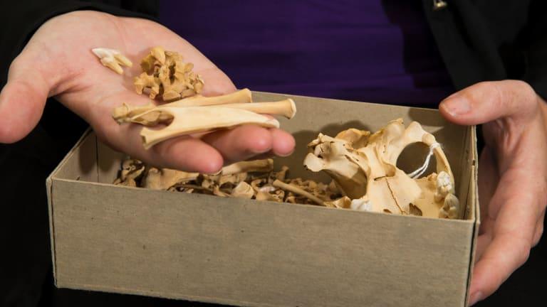 Tasmanian devil bones.