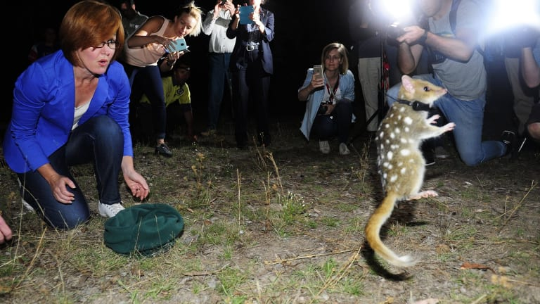 An eastern quoll put on a show for the cameras when it was released at Mulligans Flat Woodland Sanctuary by Meegan Fitzharris.