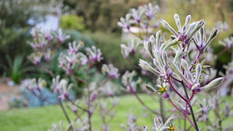 Landscape Lilac, From The Australian Native Garden, published by Murdoch Books.