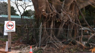 A large fig tree, known as the tree of knowledge, partly cut down to make way for the light-rail.