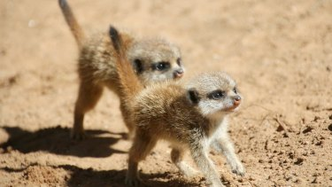 Meerkat litters usually number only three or four.