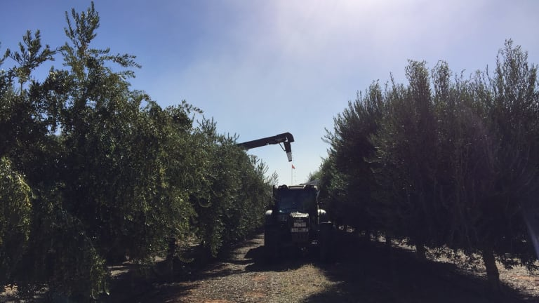 At Cobram Estate groves, freshly-picked olives must be sent to the processing plant in two hours to maintain quality.