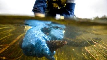 Rowan Pickett holding a Kooyang (eel) in Killara (Darlots creek).