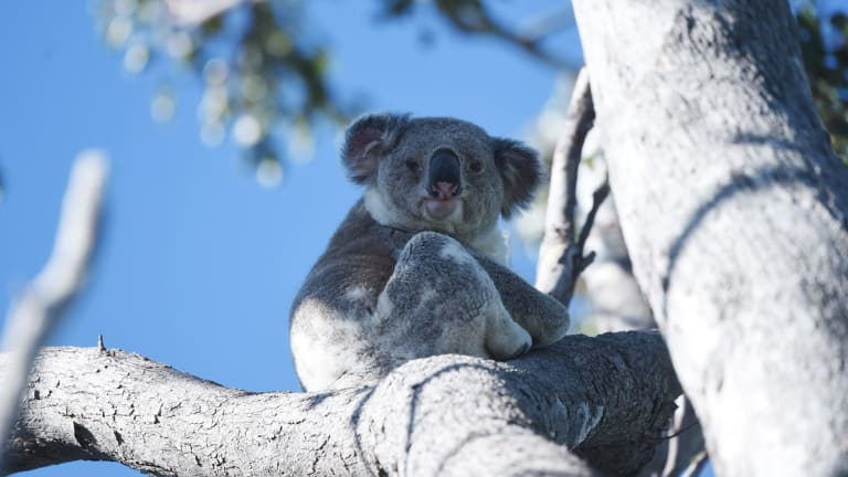 Out on a limb: Koala in the Moree region of NSW where land clearing is having a devastating impact on wildlife.