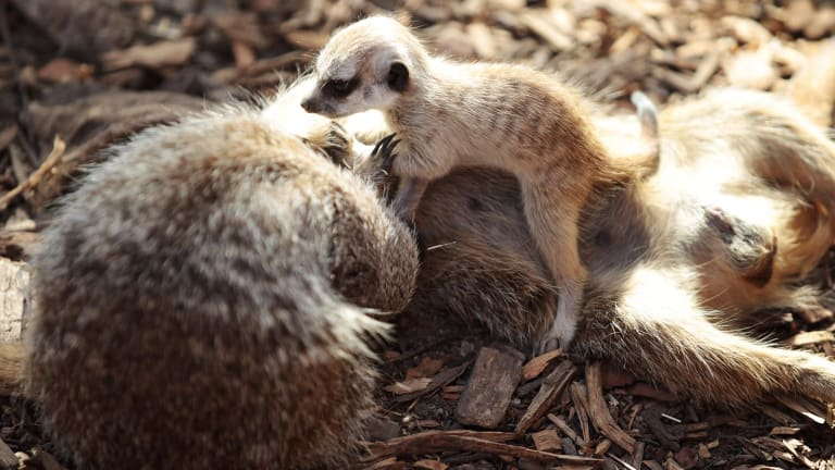 The meerkat pups romp with their parents at Melbourne Zoo,