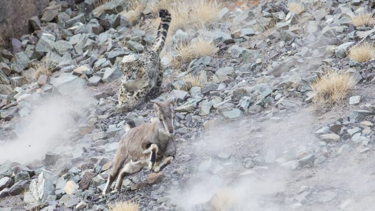 A snow leopard powers in for the kill.