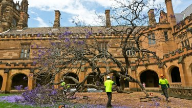 The fallen jacaranda tree inside Sydney University's south-eastern quadrangle.