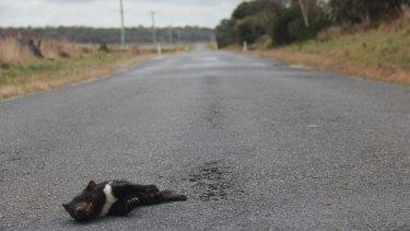 A wild devil killed on a Tasmanian road.
