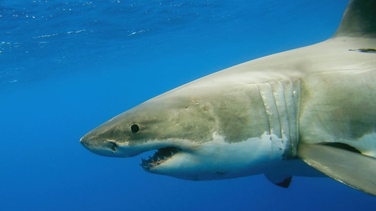 A great white shark: Senate report looks into the myths around shark bites.