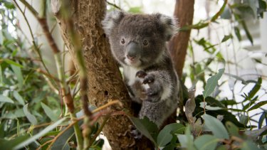 About 200 koalas are believed to live within two kilometres of the highway upgrade.