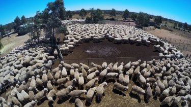 At Wirryilka Station, the Hilder family hope to average $1500 to $1600 a bale of wool.