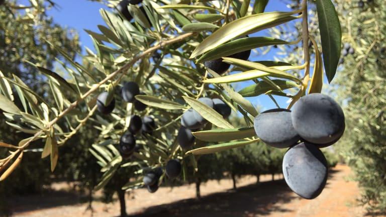 Olive oil harvesting has begun at Cobram Estate Groves in Boundary Bend, Victoria.