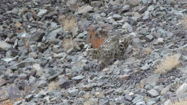 An elusive snow leopard on the hunt is caught by Australian photographer Inger Vandyke.
