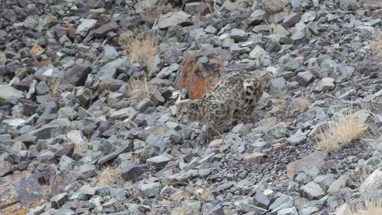 An elusive snow leopard on the hunt is caught by Australian photographer Inger Vandyke.