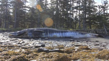 A fin whale carcass on Whale Island, Alaska, in June.