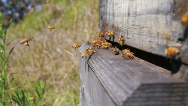 The couple treat their bees as 'neither pets nor livestock' but as 'wild creatures in a super-organism form'.
