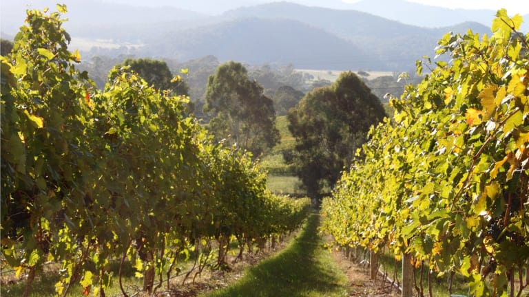 Pizzini Wines' vineyard in the King Valley.