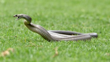 The 18-year-old was in a Kambah paddock when she was bitten by a brown snake.