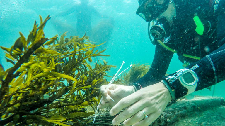 """The crayweed """"have lots of sex"""" once they are transplanted on bare reefs."""