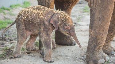 The calf starts to take notice of the world around him.