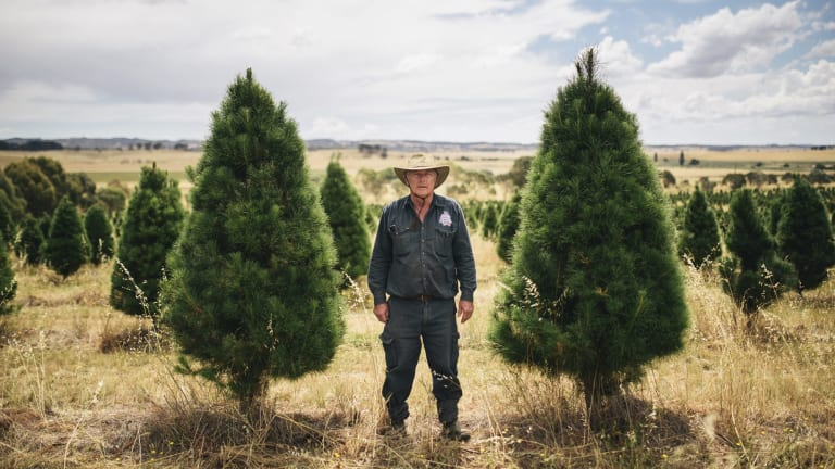Christmas tree farmer Ziggy Kominek with some of his trees at Gundaroo. - Canberra Pines For Real Christmas Trees