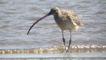 Under pressure: The eastern curlew is among migratory bird species facing a grim fate.