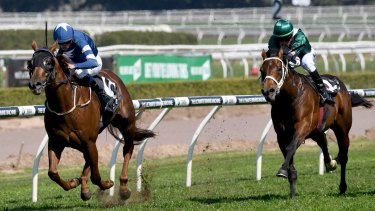 Promising type: Impeccably bred Frankel colt Merovee chases home Super Ex at Randwick.