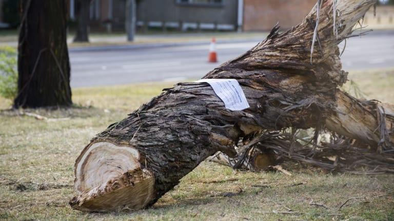 A tree cut down on Northbourne Avenue last week.