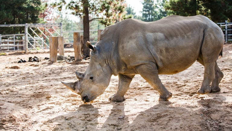 Three White Rhinoceros are also on show for the first time as part of the zoo's new expansion.