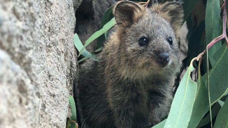 Cinnamon the baby quokka has taken her first steps at the Australian Reptile Park.