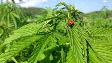 Industrial hemp is already grown in Australia. It has a lower THC concentration than marijuana.