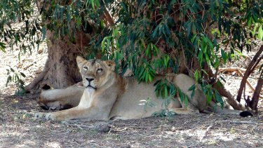 A file photo of an Asiatic Lionesses in Gir National Park, in the state of Gujarat, India.