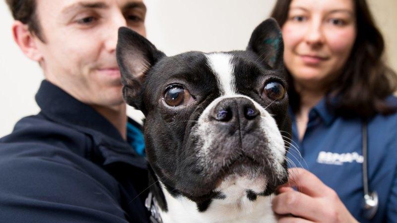 Pugs, English bulldogs, French bulldogs, Boston terriers: being