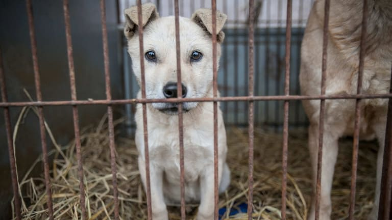 Stacey looks out from behind the bars of her cage.at Mr Kim's dog meat farm in Namyangju, South Korea.