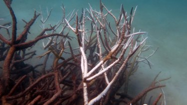 Dead and dying staghorn coral on the central Barrier Reef.