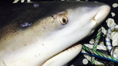 A 1.5-metre female bull shark is caught and tagged from a SMART drumline earlier this year off Bellingen River.