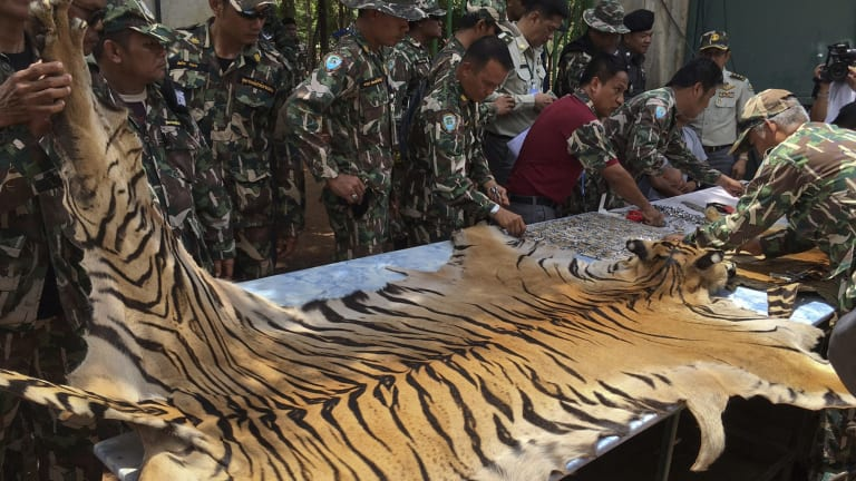 National Parks and Wildlife officers examine the skin of a tiger at Kanchanaburi's Tiger Temple, which is alleged to deal in tiger skins and other animal parts.