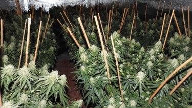 Police blitz cannabis crop houses, admit Melbourne is