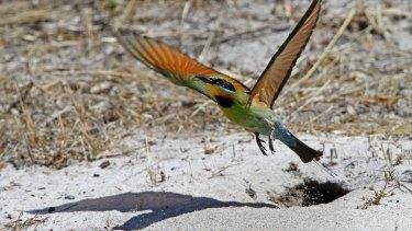 A rainbow bee-eater leaves its burrow.