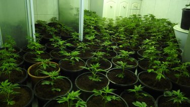 Acting on tips from police, members of the public, real estate agents, neighbours and power companies, detectives from the Drug Taskforce are hitting crop houses at a record rate.