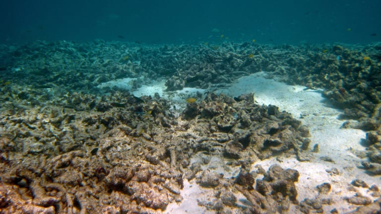Horseshoe reef after a crown-of-thorns invasion.