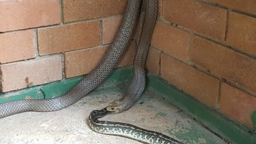 An eastern brown snake was spotted eating a scrub python in Goodna.