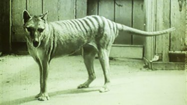 One of the last thylacines kept at Hobart's Beaumaris Zoo in the 1930s.